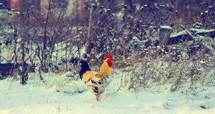 Rooster on a snow Stock Images