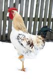 Rooster in Snow Royalty Free Stock Images