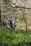 Rooster in spring garden. White and black rooster in garden under a blossoming tree Stock Photo