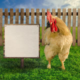 Rooster standing beside the blank white paper on wooden board - square composition Royalty Free Stock Photos