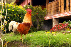 Rooster standing on the grass. Rooster walking on the grass royalty free stock photos