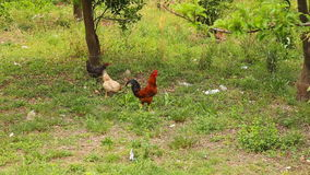 Rooster standing on the henyard. In Turkey stock video footage
