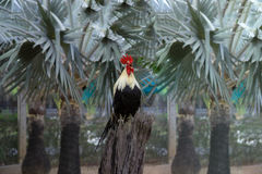 Rooster standing on old wood Stock Images
