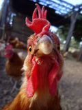 Rooster Stare. Macro shot of rooster staring into camera Royalty Free Stock Photos