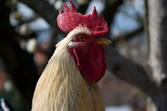 Rooster stroking to something Royalty Free Stock Photos