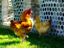 Rooster Struts By Hen Royalty Free Stock Images