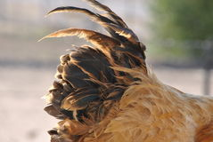 Rooster tail Royalty Free Stock Photography