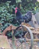 Rooster on tool in the farm Royalty Free Stock Images