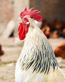 Rooster on traditional free range poultry farm Stock Photo