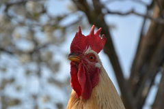 Rooster on a traditional village farm. Royalty Free Stock Images