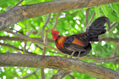 Rooster on the tree Stock Images