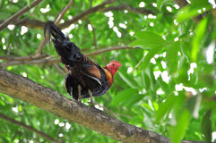Rooster on the tree. Rooster on the be high tree Stock Photo