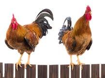 rooster två Royaltyfri Fotografi