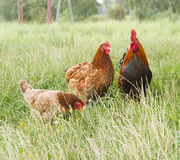 Rooster and two hen Stock Photos