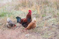 Rooster with two hens in an autumnal garden. Beautiful Ukrainian rooster with two hens in an autumnal garden Stock Photography