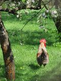 Rooster under the blooming trees Royalty Free Stock Image