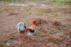 Rooster. At the USF campus. taken in Florida Stock Photos