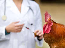 Rooster vaccination Stock Photos