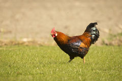 Rooster wake up call Stock Images