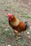 Rooster walking in the barnyard. Brown rooster walking in the barnyard Stock Photos