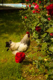 Rooster walking in a country farm Stock Images