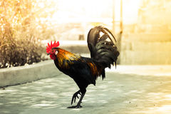 Rooster walking Royalty Free Stock Image