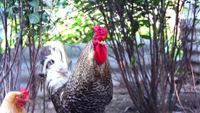 A rooster walks on the farm stock video footage