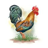 Rooster watercolor, Gallus gallus domesticus. Rooster watercolor Gallus gallus domesticus. Digital illustration vector illustration