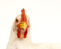 Rooster on white background Royalty Free Stock Image