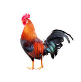 Rooster on white background Royalty Free Stock Images