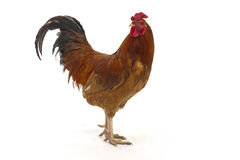 Rooster  on a white background Stock Photos