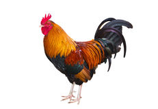 Rooster on white background Royalty Free Stock Photos