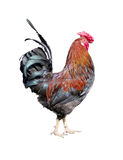 Rooster on a white background Royalty Free Stock Photos