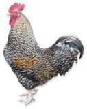 Rooster on White Stock Photography