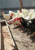 Rooster and white hens are going to eat stock photography