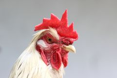 Rooster. White rooster with red crest and look that instills respect and admiration Stock Photos