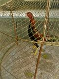 Rooster in the wood cage royalty free stock photography