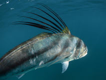 Roosterfish swimming away underwater Royalty Free Stock Photography
