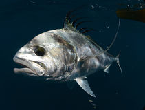 Roosterfish swimming underwater in warm waters Royalty Free Stock Images