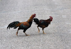 Roosters. Two chickens crossing the road royalty free stock image