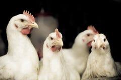 roosters Fotografering för Bildbyråer