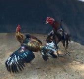 roosters Arkivfoto