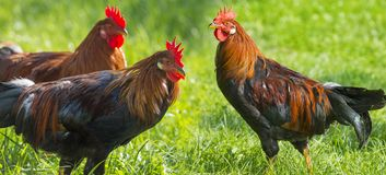 Free Roosters Stock Photo - 99311880