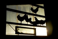 Roosters in the barn window stock images