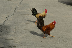 Roosters Royalty Free Stock Photography