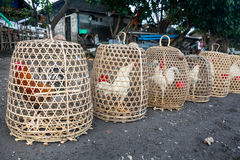 Roosters in cage. Made from weave bamboo in the village Stock Photos