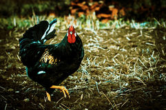 Roosters and chickens. Royalty Free Stock Photography