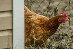 Roosters and chickens. Royalty Free Stock Photo