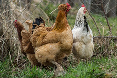 Roosters and chickens. Stock Images
