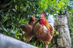 Roosters and chickens on the streets of Istanbul stock image